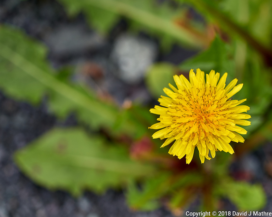 Dandelion Flower. Image taken with a Leica CL camera and 60 mm f/2.8 lens