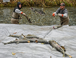 Dylan Burbank (left) and David Campbell, fish technicians for the non-profit Northern Southeast Regional Aquaculture Association, Inc. (NSRAA), begin to sort the chum salmon captured at the man-made spawning channel of Herman Creek near Haines, Alaska.<br /> <br /> NSRAA built the channel to collect wild broodstock by harvesting spawning female and male salmon for their eggs and milt to artificially spawn wild chum salmon. The eggs are fertilized with milt and placed in stream-side incubation boxes on Herman Creek and the Klehini River. In 2014, 2.4 million eggs were seeded into these incubation boxes. The 2013 incubation box survival rate was 90%. Without the artificial spawning, natural survival is said to be only 10%.<br /> <br /> Based in Sitka, Alaska, NSRAA conducts salmon enhancement projects in northern southeast Alaska. It is funded through a salmon enhancement tax (of three percent) and cost-recovery income. NSRAA also produces sockeye, chinook, and coho salmon.<br /> <br /> Male chum salmon return to Herman Creek to spawn with female chum salmon during the fall chum salmon run. The chum salmon return to freshwater Herman Creek, tributary of the Klehini River after living three to five years in the saltwater ocean. Spawning only once, chum salmon die approximately two weeks after they spawn. <br /> <br /> Chilkat River and Klehini River chum salmon are the primary food source for one of the largest gatherings of bald eagles in the world. Each fall, bald eagles congregate in the Alaska Chilkat Bald Eagle Preserve.