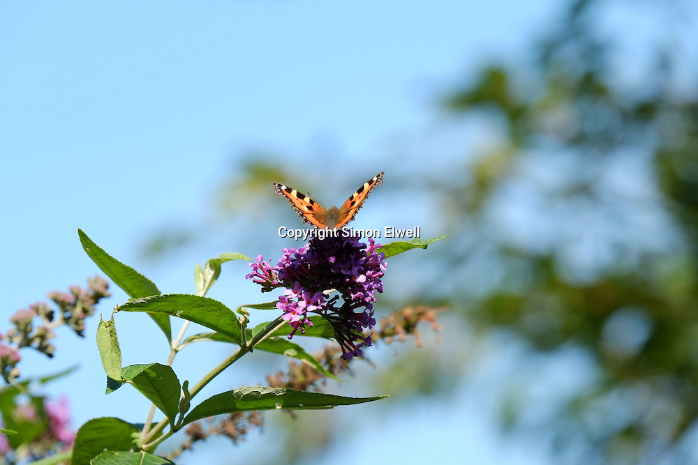 Small Tortoiseshell Butterfly on a buddleia bush in England - August 2013