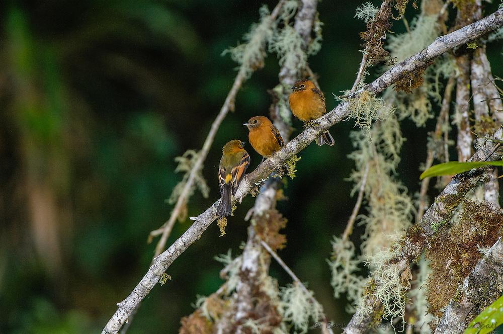 Cinnamon Flycatcher [Pyrrhomyias cinnamomens] perched; Cabanas San Isidro, Ecuador