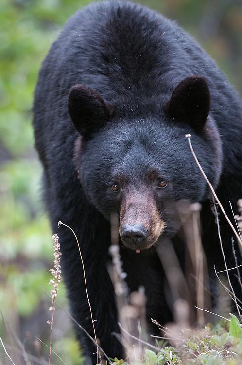 black bear, portrait, full frame, facing camera