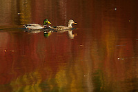 A mallard pair swimming with red reflections in Walden Pond.