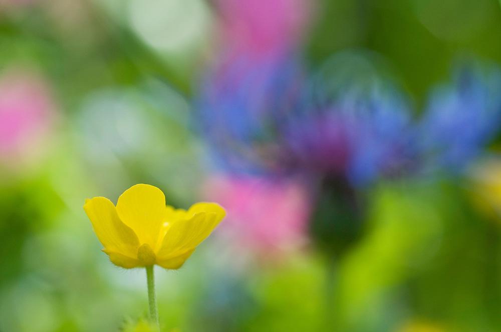 Ranunculus breyninus; Buttercup, Malbun, Liechtenstein