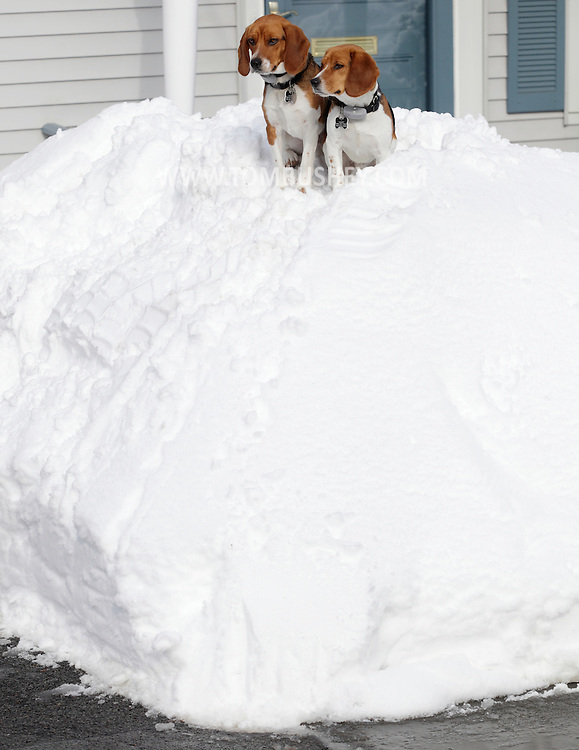 Middletown, New York - Two beagles sit on a large pile of snow in their front yard on Feb. 27, 2010.