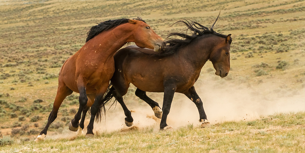After losing his mare to illness, the dark bay stallion, Cigaro, encroaches on the territory of a larger stallion and is quickly turned away.