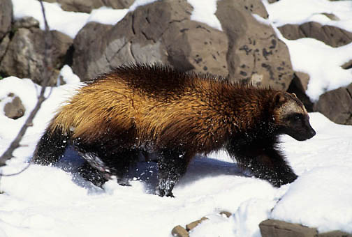Wolverine, (Gulo gulo) In Snowy foothills of the Rocky mountains Late spring snow. Montana. Winter. Captive Animal.