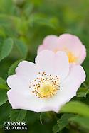 Fleurs d'églantier, Rosa canina, dans le Parc National Central Balkan en Bulga