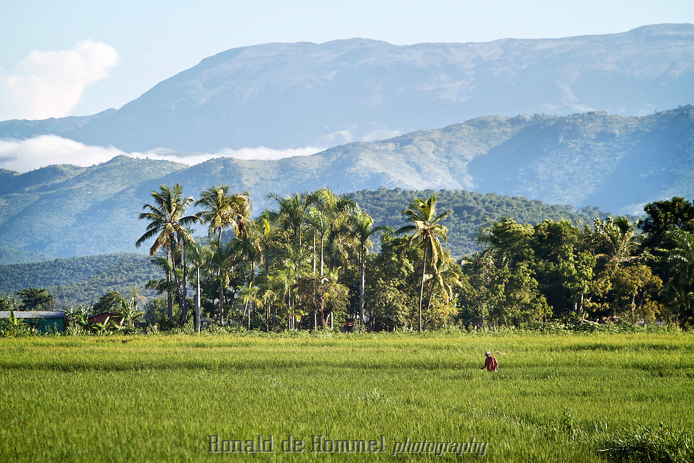 Rice farming in Artibonite, the major rice growing area of Haiti. The hills in the distance are completely bare, like the rest of mountainous Haiti. Due to massive deforestation monsoon rains immediately end up in the valleys flooding fields and villages adding to the the difficult situation due to cheap rice imports from the USA. These nearly destroyed the agricultural sector in Haiti. .The aftermath of the earth quake of January 12 2010 might be a good moment to take up the restructuring of the agricultural sector in the country to make it more self sustainable for the future.