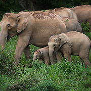 Asian Elephant (Elephas maximus) herd with calf in Kui Buri national park, Thailand