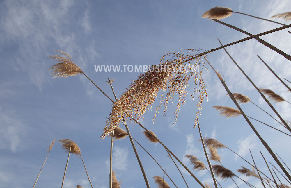Washingtonville, New York - Reeds blow in the wind with the late afternoon sky in the background on April 3, 2011.