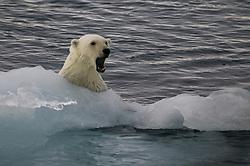 Polar bear (Ursus maritimus) in Hinlopen, Svalbard