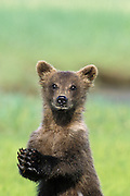 Grizzly Bear <br /> Ursus arctos<br /> 4-6 month old cub (s)<br /> Katmai National Park
