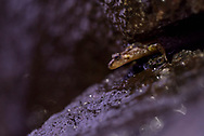A Dusky salamander (Desmognathus sp.) peaks out from a rocky crevice - Great Smoky Mountains, Tennessee