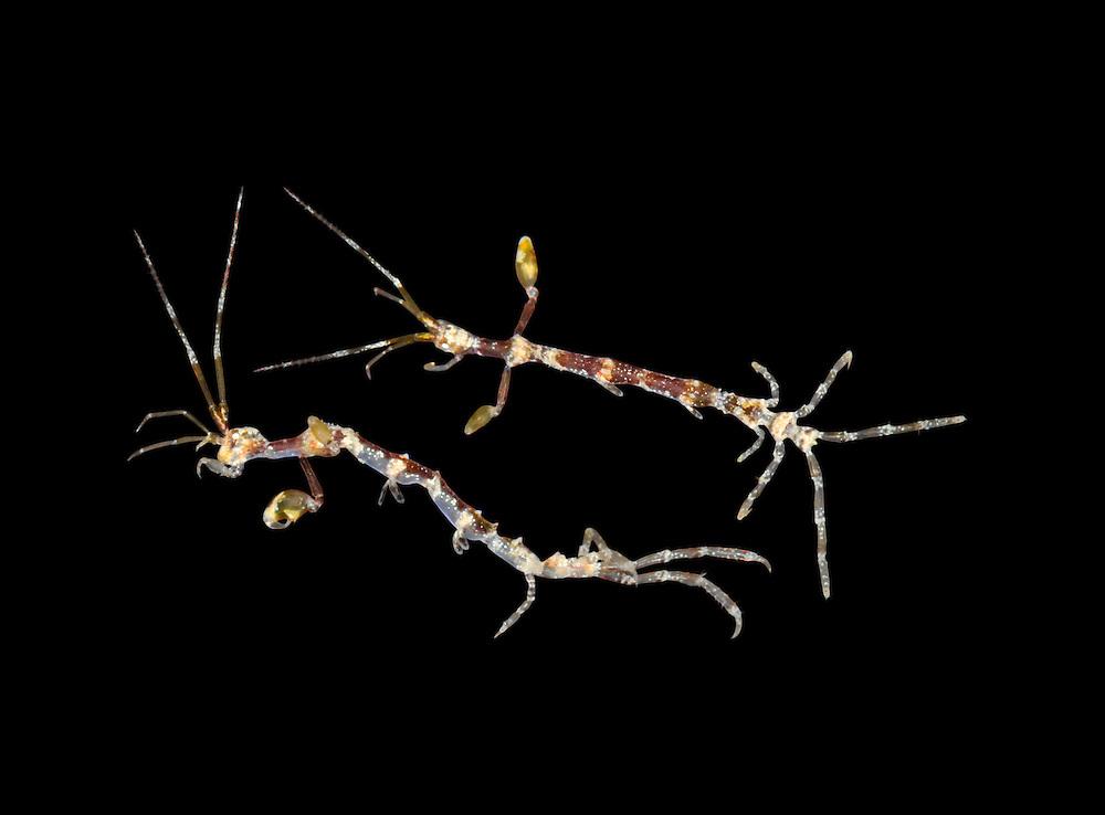 Caprella acanthifera