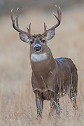 A Whitetail Buck (Odocoileus virginianus) keeps a steely eye on the photographer, while watching over a doe during the Autumn mating rut, Missoula, Montana