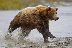 North American brown bear /  coastal grizzly bear (Ursus arctos horribilis) sow running through a creek fishing, Lake Clark National Park, Alaska, United States of America