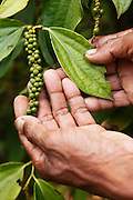 Bol Yert picks ripened pepper corns. Changing picking methods means that only individually ripened corn are picked leaving the rest on the branch.