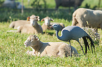 Blue Crane standing amongst a flock of sheep, Overberg, Western Cape, South Africa