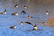 Canada geese in the pond bathing and swimming around