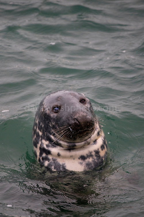 Grey Seal, Halichoerus grypus, Skerries, Dublin