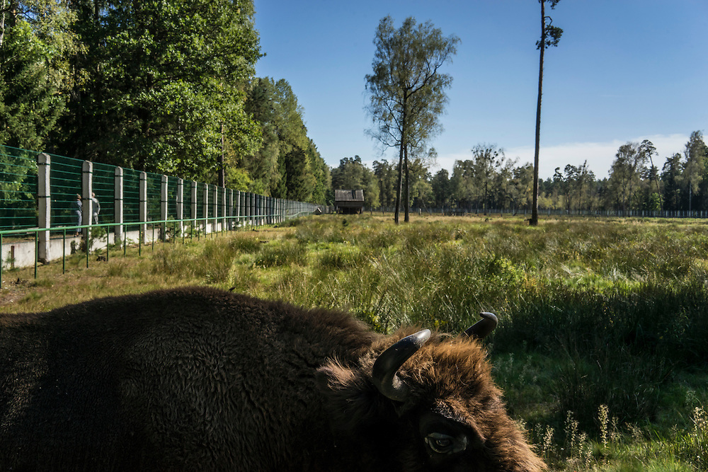 Captive European bison on Sunday, September 18, 2016 in Belozhevskaya Pushcha National Park near Kamieniuki, Belarus.