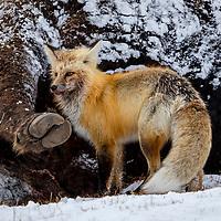 red fox yellowstone