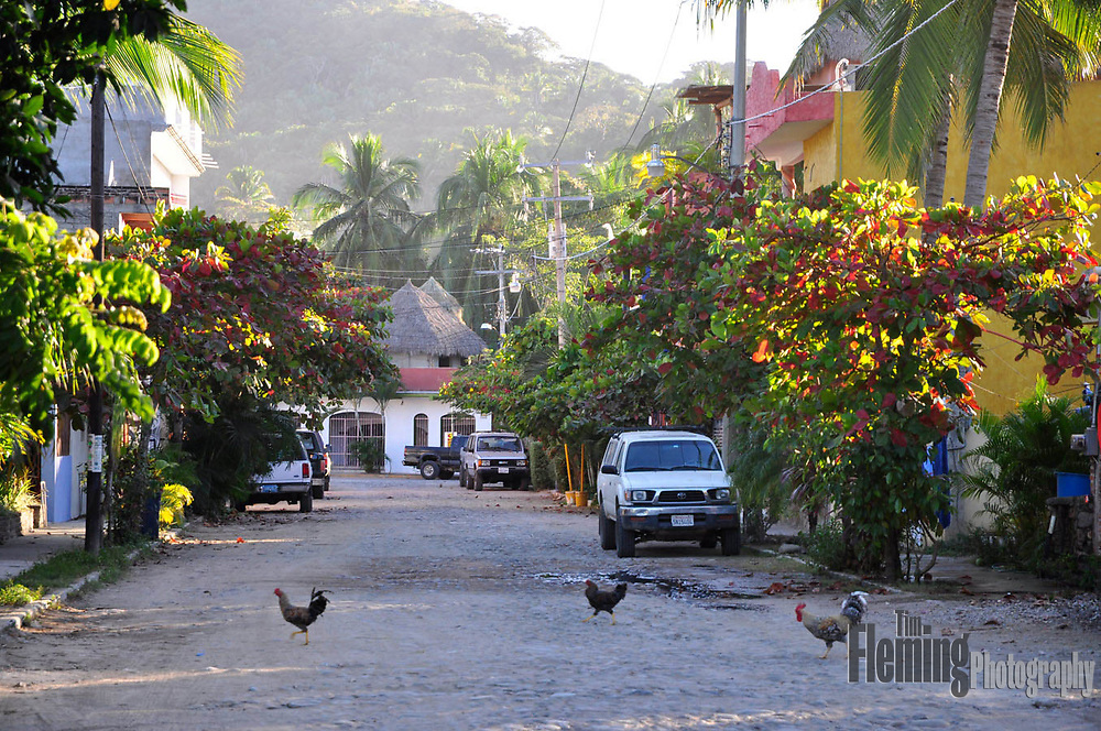 Chickens crossing the road, Sayulita, Mexico