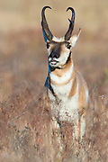 A pronghorn buck (Antilocapra americana) sniffing for pronghorn does in heat, Western Montana