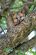 Gray fox pup in tree.