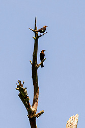 Pair of Brown-headed Cowbirds perch on a dead tree