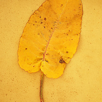 Yellow leaf of Broad-leaved dock or Rumex obtusifolius lying on antique paper