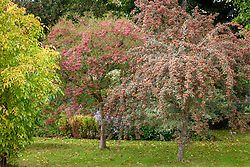 The berries of Sorbus vilmorinii - Rowan - and Crataegus orientalis syn. Crataegus laciniata - Hawthorn.