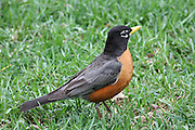 The Robin is a fairly large bird that thrives in the Great Lakes region. It is the largest of the thrushes. I enjoy watching Robins each year. I am fascinated by their ability to build a nest on just about anything (trees are preferred, but porch lights are just fine, too). They are remarkably dedicated parents to their offspring.