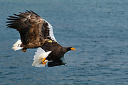 A Steller's Sea Eagle being shadowed by a White-tailed Eagle, Japan