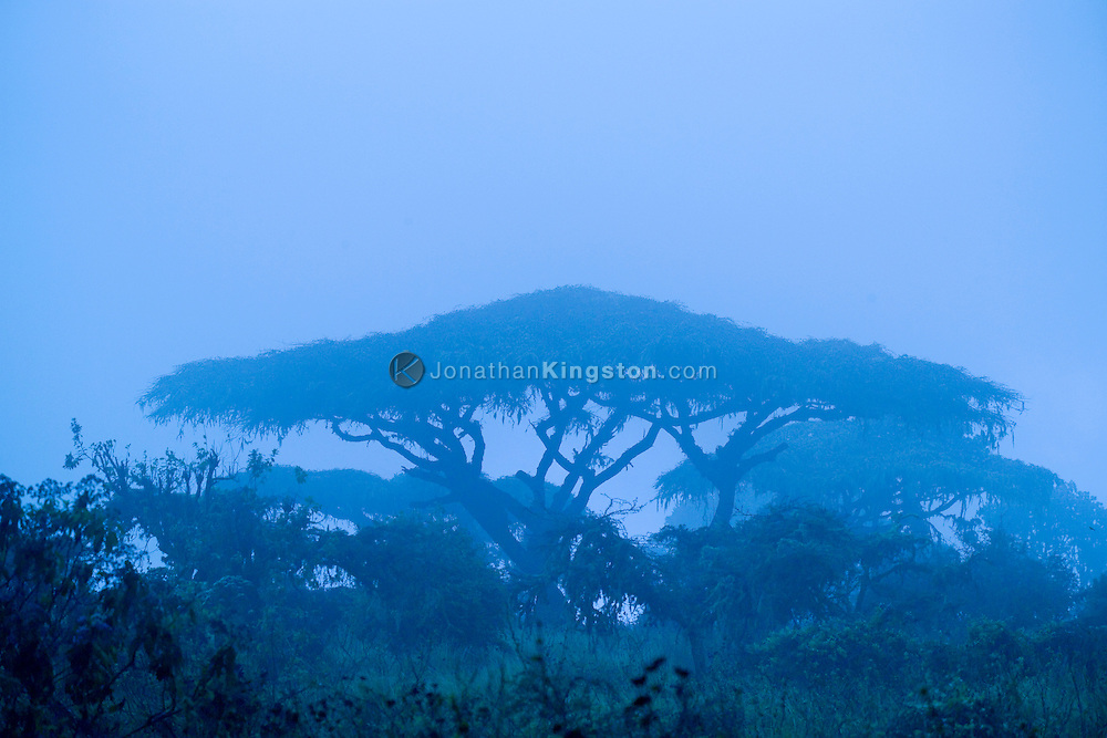 Acacia tree in the fog in the Ngorongoro Conservation Area (NCA), near Arusha, Tanzania.