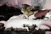 JAPAN, Eastern Hokkaido.Blakiston's fish owl (Ketupa blakistoni) (IUCN 2012: Endangered)
