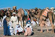 Camel train at rest, Al Ain, Abu Dhabi