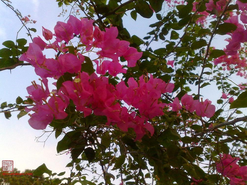 pink Bougeanvillea