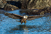 Bald eagle in Alaska trying to catch fish