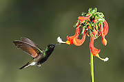 Black Bellied Hummingbird<br />