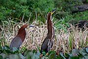 Rufescent Tiger Heron (Tigrisoma lineatum)<br /> Rewa<br /> Guyana<br /> South America