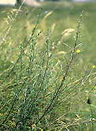 FIELD WORMWOOD Artemisia campestris (Height to 1m) is similar to Sea Wormwood but it is almost hairless and unscented, with reddish stems and yellowish flowers borne in open sprays (Aug-Sep). In Britain, Field Wormwood is restricted to a few areas of Breckland grassland.