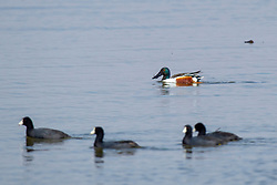 Emiquon Nature Preserve and Wildlife Refuge - Northern Shoveler (Anas clypeata)  swimming in lake water with a group of American Coots (Fulica americana) on a mostly cloudy day in central Illinois