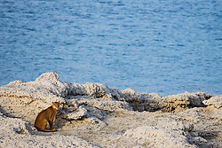 A puma (Puma con color) also known as a mountain lion or cougar,  sitting on the edge of a lake on a rocky stromolite outcrop, Torres del Paine, Chile, South America