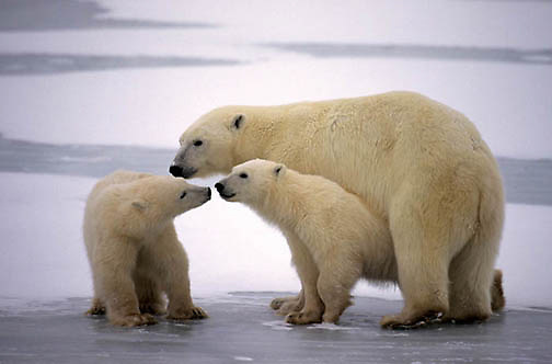 Polar Bear, (Ursus maritimus) Mother and cubs. Cubs playing. Churchill, Manitoba. Canada.