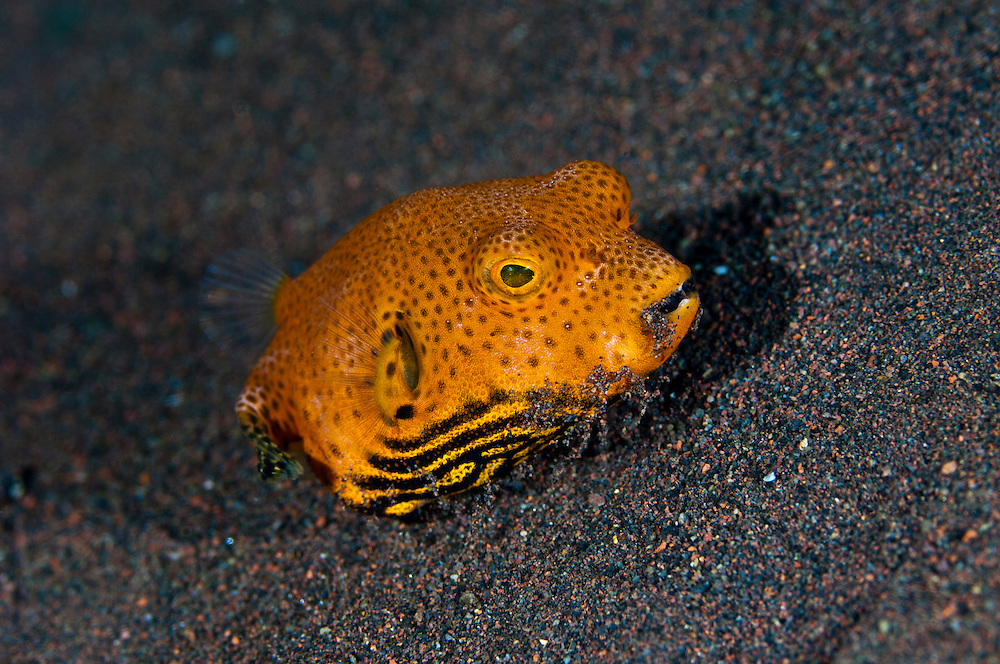 Juvenile starry or star pufferfish, Seraya, Bali, Indonesia. Seraya is located on Bali's NE coast and has become very popular with divers and photographers searching for unusual species.  The signature site, 'Seraya Secrets' has a barren sand floor with small patches of sponge and other encrusting life, and rocks in the shallows. Bali is a very popular holiday destination for divers and offers a wide variety of different types of diving, from reefs and wrecks to mucks sites such as Puri Jati and Gilimanuk.