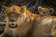 Cub resting his head on lioness