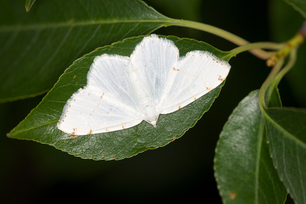 Inchworm Moth (Geometridae family)