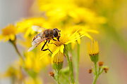 Syrphid hover fly, believed to be Eristalis tenax, collecting nectar from a flower of common ragwort.