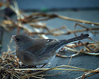 Dark-eyed Junco. Image taken with a Nikon D5 camera and 600 mm f/4 lens (ISO 1600, 600 mm, f/4, 1/400 sec)